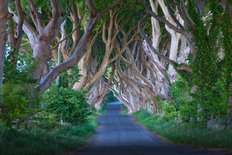 Dark Hedges Wallpaper Mural