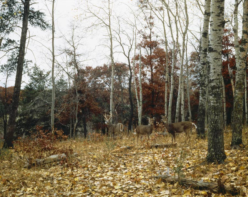 deer wallpaper mural with a large buck and a pair of does in a woods carpeted with fallen leaves
