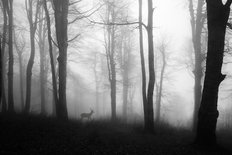 Deer Strolling Through Foggy Forest Wall Mural