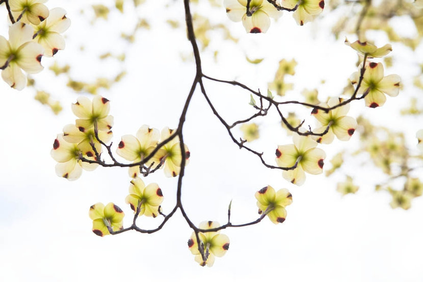 Dogwood Branch on White Wall Mural