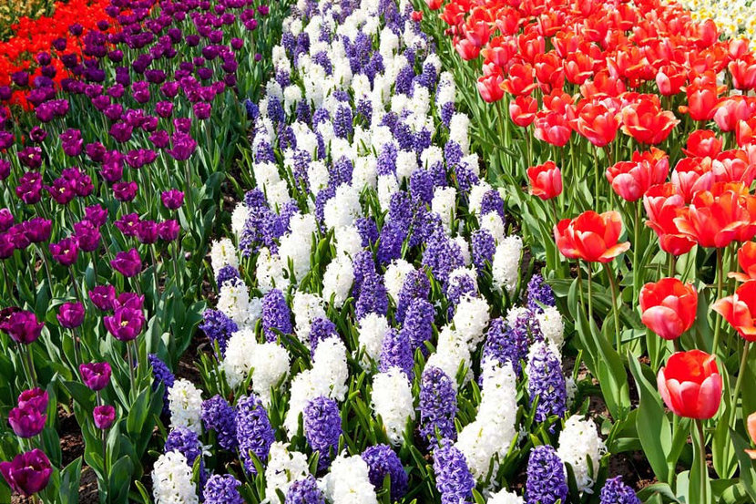 Dutch Bulb Field With Colorful Tulips