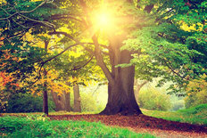 Early Autumn Majestic Tree Mural Wallpaper