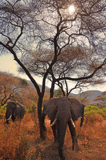 Elephants in Africa Mural Wallpaper