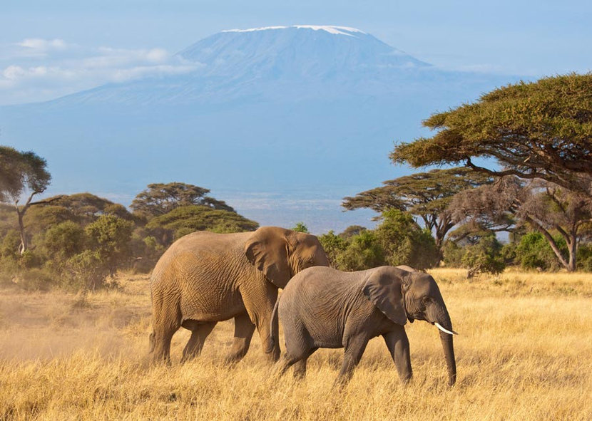 Elephants In Front Of Kilimanjaro Wall Mural
