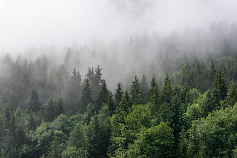 dense fog rolls in over a lush evergreen forest, covering the treetops