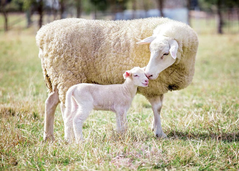 A mother and baby sheep nuzzle and stick close together