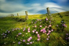 Fenceline And Morning Glory Flowers Wall Mural