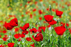 Blooming Poppies Wallpaper Mural