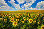 Field Of Blooming Sunflowers Wallpaper Mural