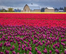 Fields of Tulips Mural Wallpaper