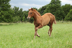 Sorrel Solid Paint Foal Running In A Field Wall Mural