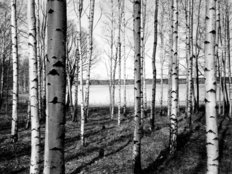 Finnish Forest Of Birch Trees Mural Wallpaper