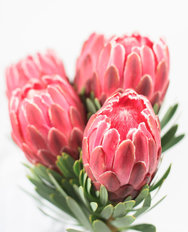 Five Red Protea Flowers Wall Mural