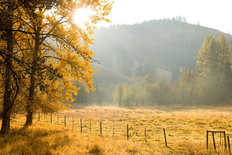 Fog Dissipating in a Meadow of Cottonwood and Larch Trees Wallpaper Mural