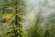 Fog Filtering Through Old Growth Forest Wallpaper Mural