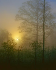 Foggy Hardwood Forest Mural Wallpaper