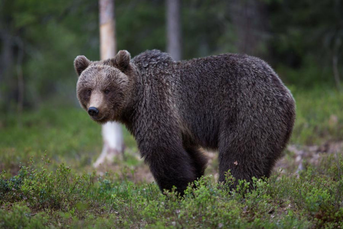 A lone bear stands in the clearing of a forest in this wildlife