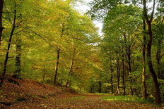 Autumn Forest Foliage Mural Wallpaper