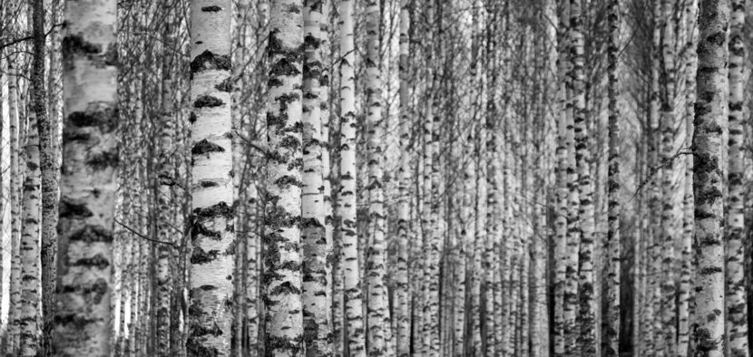 Forest-With-Trunks-Of-Birch-Trees-Wall-Mural.jpg