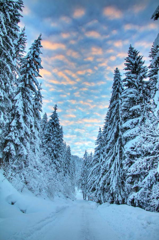 towering pine trees covered in snow at dusk