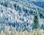 forest of snow frosted pine trees and leafless aspen trees cover a mountainside in winter in the state of washington wall mural