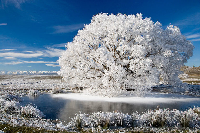 Weeping willow tree in winter with frosted branches and snow