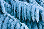 Frosty Branches, Wenatchee National Forest Mural Wallpaper