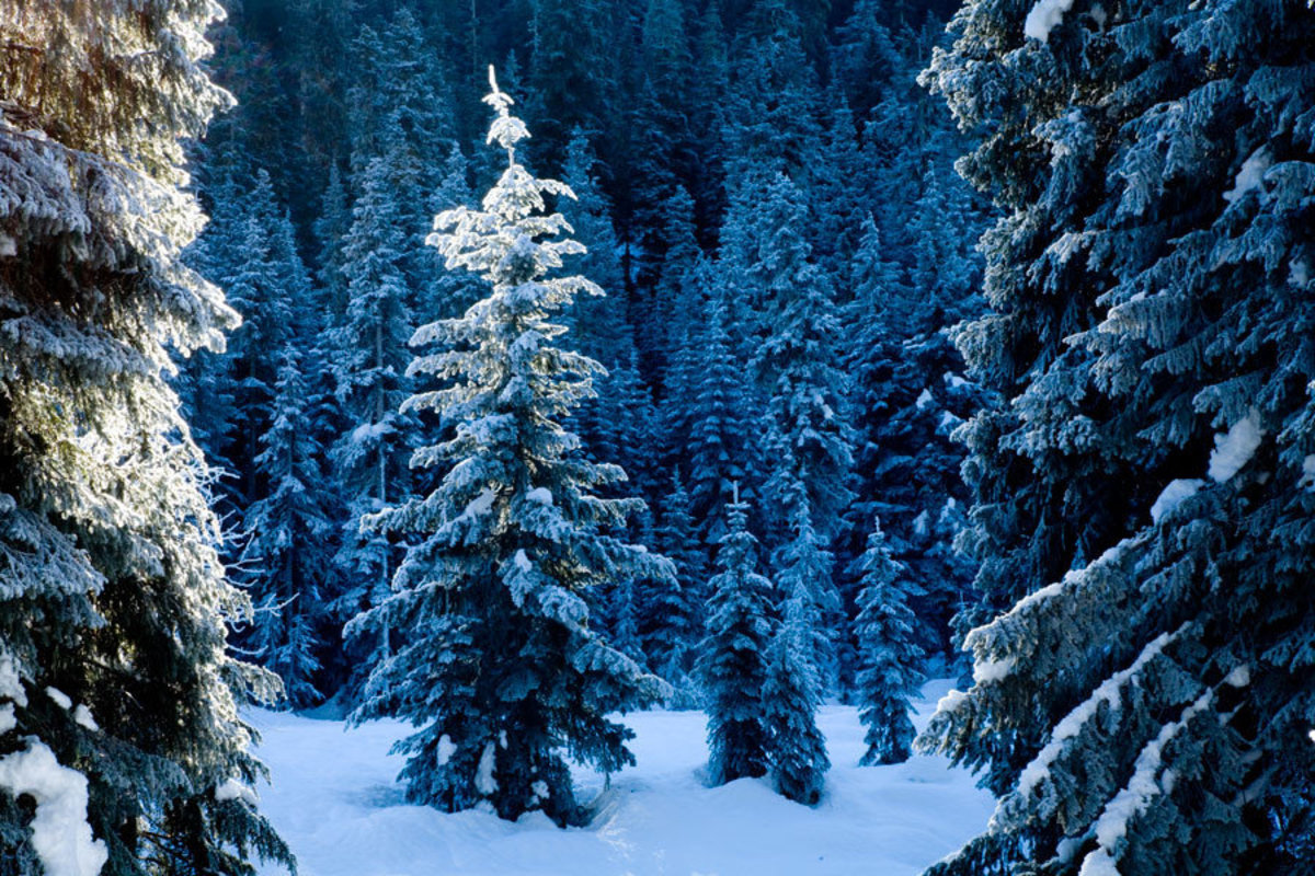 Frosty Forest, Wenatchee National Forest Wallpaper Mural
