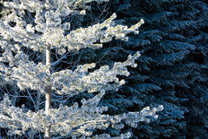 Frosty Tree on a Sunny Day, Wenatchee National Forest Wallpaper Mural