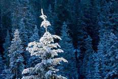 Frosty Tree Top, Wenatchee National Forest Wall Mural