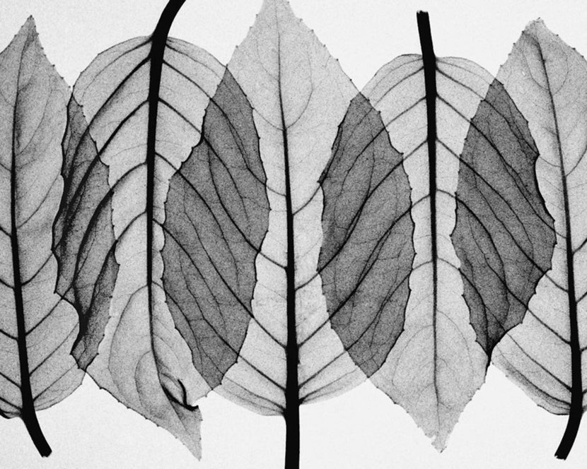 Fuscia Leaves-Black & White Wall Mural