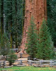 General Sherman Tree, Sequoia National Park, California Wallpaper Mural