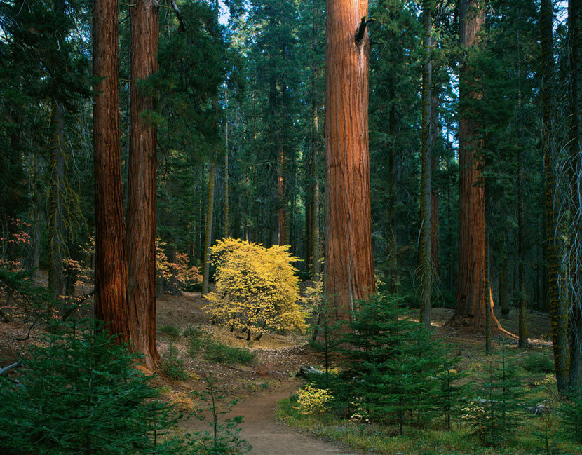 Giant Forest, Sequoia National Park, CA