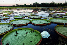 Giant Lily Pads Wall Mural