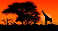 Giraffe And Acacia Trees At Sunset Wall Mural