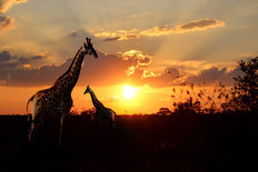 Giraffes At Sunset Wall Mural