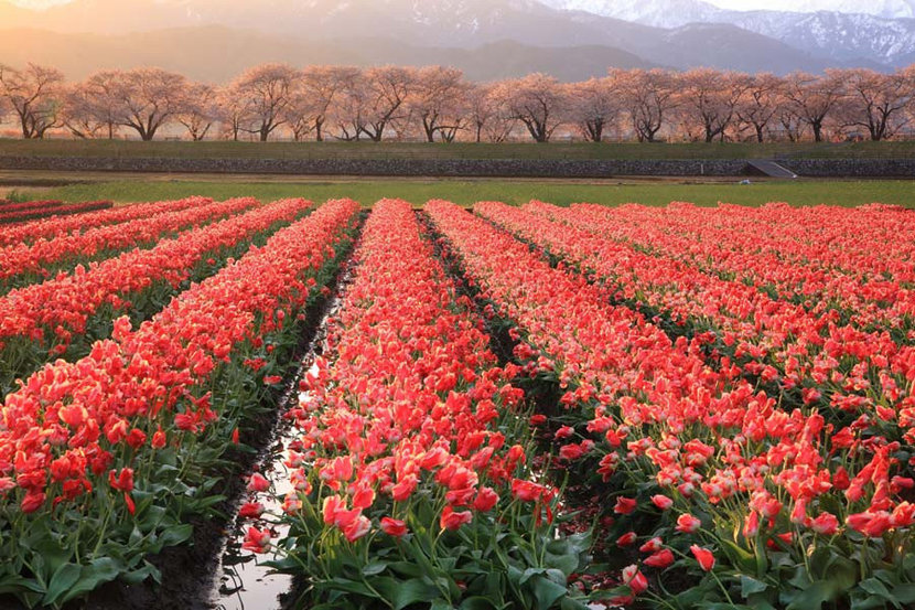 rows and rows of pretty pink tulips