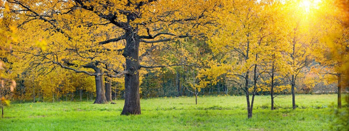Golden Oak Trees