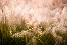 Grasses Mural Wallpaper