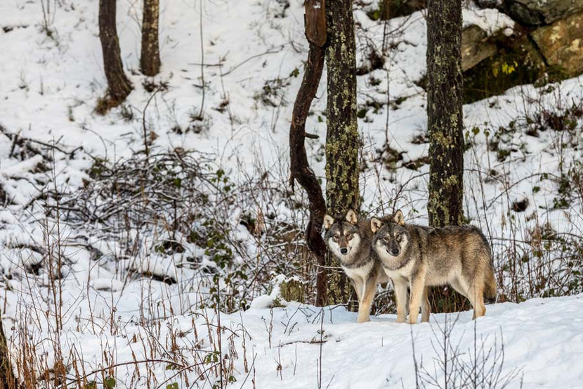 Two gray wolves stand together in a snow-covered forest