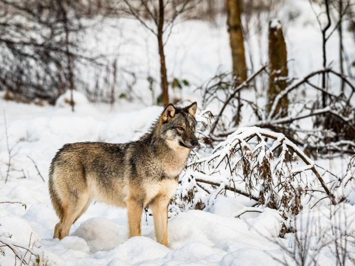 lone gray wolf stands among snow-covered trees