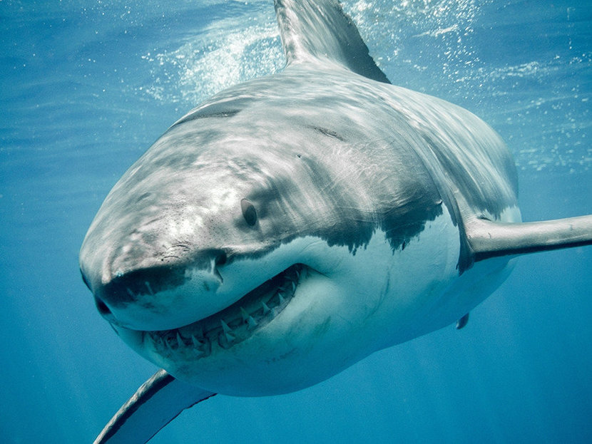 Close up of a Great White Shark swimming in ocean waters