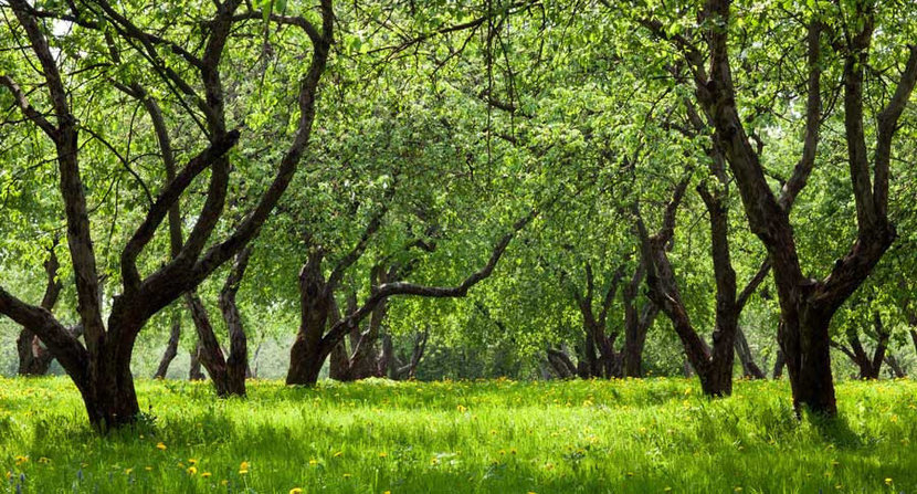 Green Apple Trees In Spring