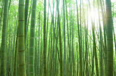 Sunlit Bamboo Forest Wallpaper Mural