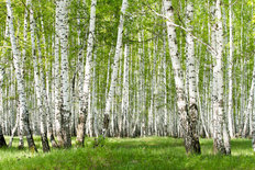 A Green Birch Forest In The Spring Wall Mural
