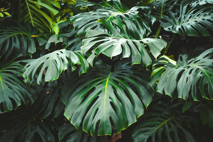 Green-Leaves-Of-Monstera-Philodendron-Wall-Mural.jpg