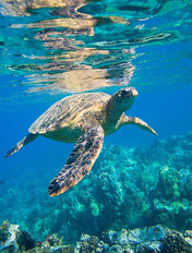 Green Sea Turtle Mural Wallpaper