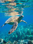 Picture of a sea turtle swimming in the ocean near a coral reef