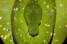 Green Tree Python, Indonesia  Wallpaper Mural