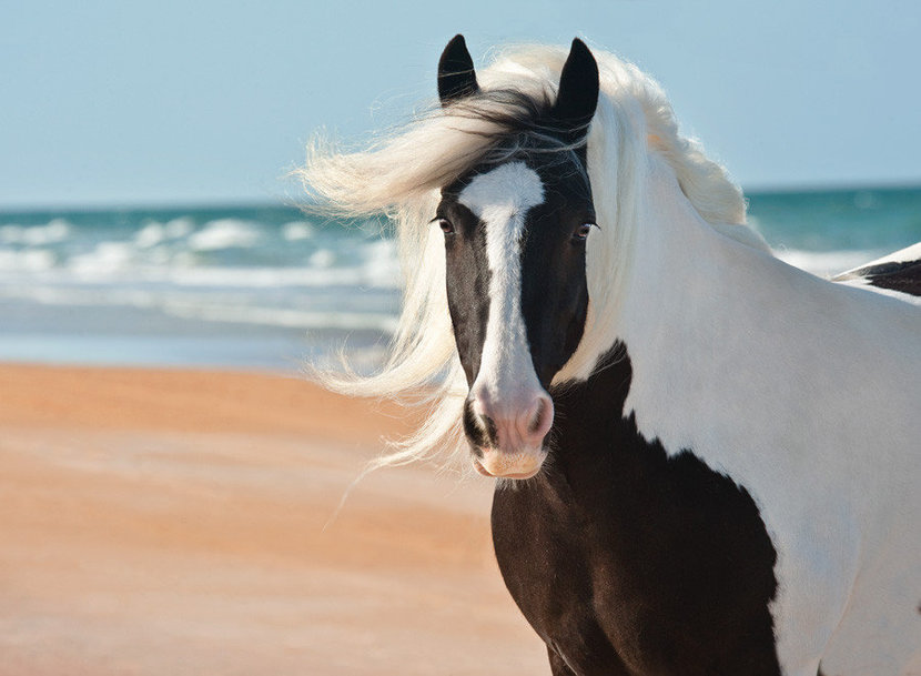 Gypsy Vanner Mare at the Beach Wall Mural